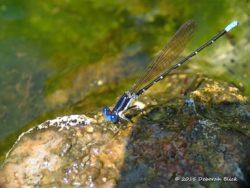 Blue-fronted damselfly at Poe Springs