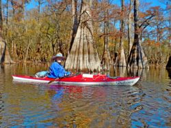 Dulcinea in the cypress on the Santa Fe River