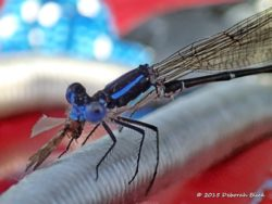 Blue-fronted Dancer Damselfly (Argia apicalis) chowing down on a smaller winged insect