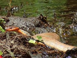 Florida Red-bellied Water Snake (Nerodia erythrogaster erythrogaster) at Lily Springs