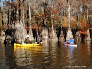 Santa Fe River, cypress trees, kayaking