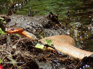 Red-bellied Water Snake, Nerodia erythrogaster, Santa Fe River
