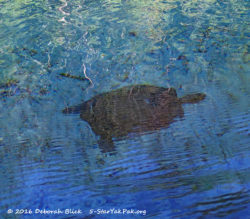 A turtle swimming in Gilchrist Blue Springs run - about a foot underwater