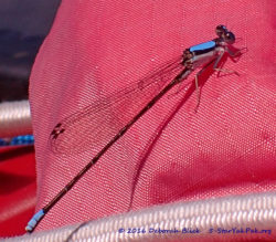 Blue Fronted Dancer damselfly (Argia apicalis). They were really swarming this morning.