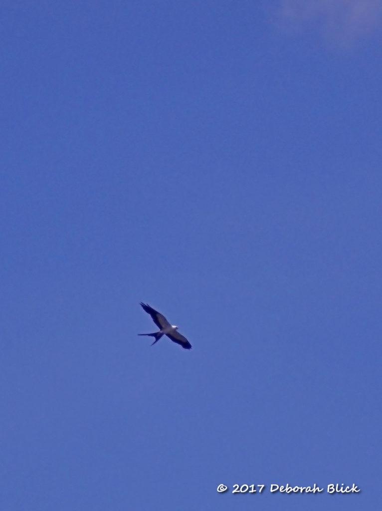 Swallow-tailed Kite (Elanoides forficatus) circling overhead
