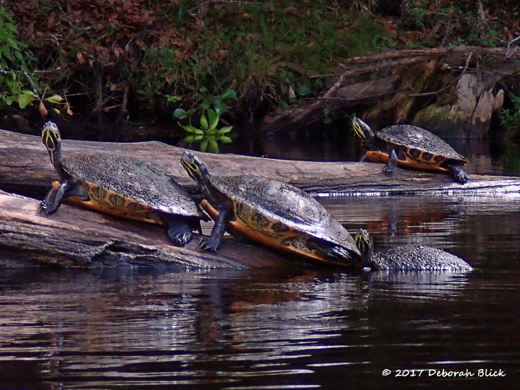 Florida Cooters (Pseudemys floridana) basking in the sun to get rid of the algae