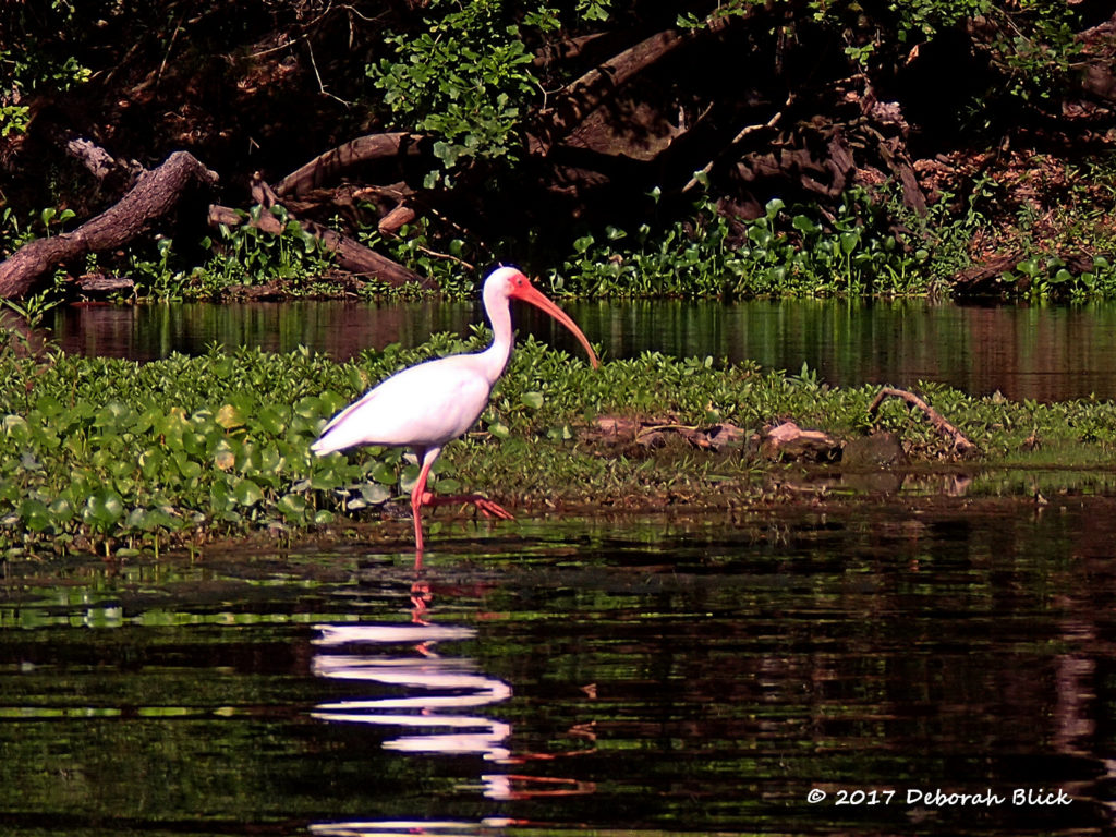 American White Ibis (Eudocimus albus) in bright red breeding integument