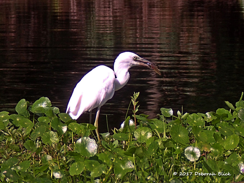 Immature Little Blue Heron (Egretta caerulea) with fish