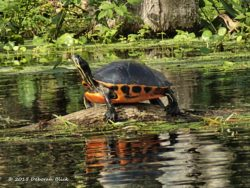 Cooter on a log