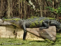 Big gator - about 7 feet - with waterline