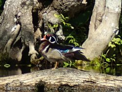 Male Wood Duck (Aix Sponsa)