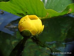 Yellow Pond Lily (Nuphar luteum) also called Spatterdock, is a water lily native to Florida.