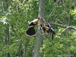 Adult Anhinga feeding one of the young 'uns.