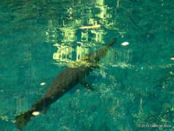 Water was so clear today. This is either a Florida Gar or a Spotted Gar about 2 foot long and about 2 feet under water. Really need to get a polarizing filter for my pics through water!