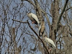 Wood Storks hunkered down in the cold.