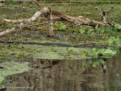 A little gator - about 4 feet - in the weeds