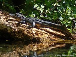 Little gator - about 3 foot. You can still see some yellow stripes on tail.