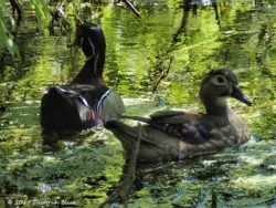 Male and female Wood Duck (Aix sponsa)