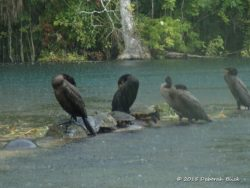 Cormorants and Anhingas hunkered down in the rain