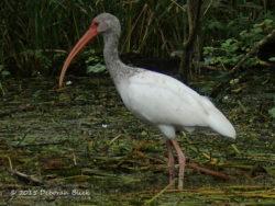 Immature American White Ibis (Eudocimus albus)