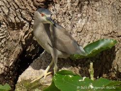 Immature Black-crowned Night Heron (Nycticorax nycticorax)