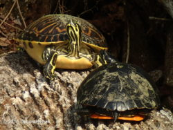 Cooters sunning on a log.