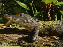 Young gator sunning - about 4 feet long