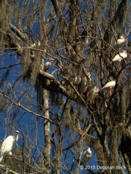Great Egret (Ardea alba) and American White Ibis (Eudocimus albus) roosting in trees.