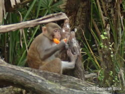 Young monkey eating a sour orange