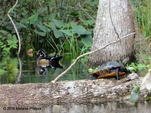 Turtle, Wood Duck, Silver River