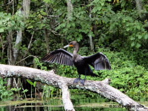 Double-crested Cormorant, Silver River