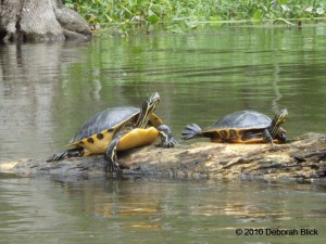 Turtle, Peninsula Cooter, River Cooter, Suwannee River