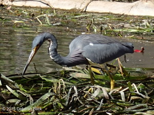 Tricolored Heron, Silver River