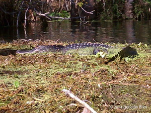 Adult gator, alligator, Silver River