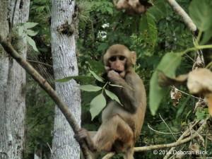 Silver River, Silver Springs State Park, Rhesus macaque, Rhesus monkey