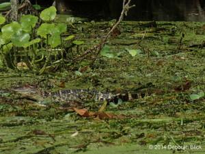 Juvenile gators