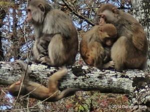 Monkey, Rhesus macaque, Silver River