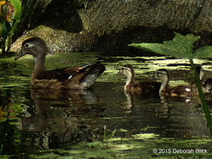 Silver River, Silver Springs State Park, Wood Duck