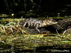 Silver River, Silver Springs State Park, gator, alligator