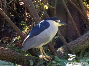 Black-crowned Night Heron, Silver River