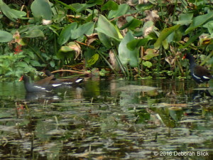 Common Gallinule, Silver River