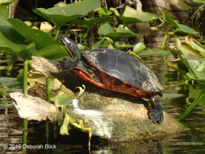 Red-bellied Cooter, Silver River, turtle
