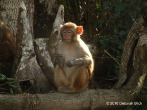 Little Rhesus macaque chowing down