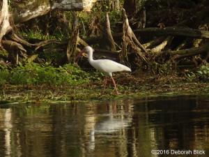 American White Ibis, Ibis, Silver River