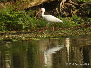American White Ibis strutting her stuff