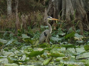 Great Blue Heron among the stream-side vegetation