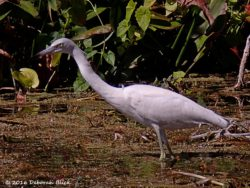 Immature Little Blue Heron (Egretta caerulea) intent on stalking her dinner. Little Blues (who wear white plumage their first year) should start nesting next month.