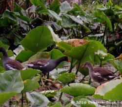 Adult and immature Common Gallinule (Gallinula galeata)