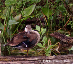 Female Wood Duck (Aix sponsa) taking a snooze.