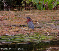 Green Heron (Butorides virescens) stalking on a bed of vegetation. We think we got close enough toruffled his feathers.